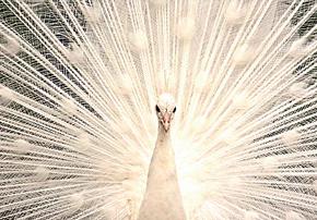 Белый индийский павлин из Парка птиц